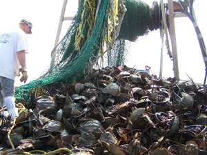 horseshoe-crab-harvest
