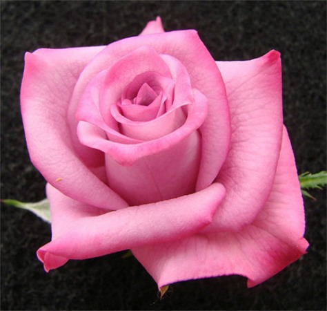 olivia_rose_large