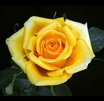 yellow-rose-gold-strike