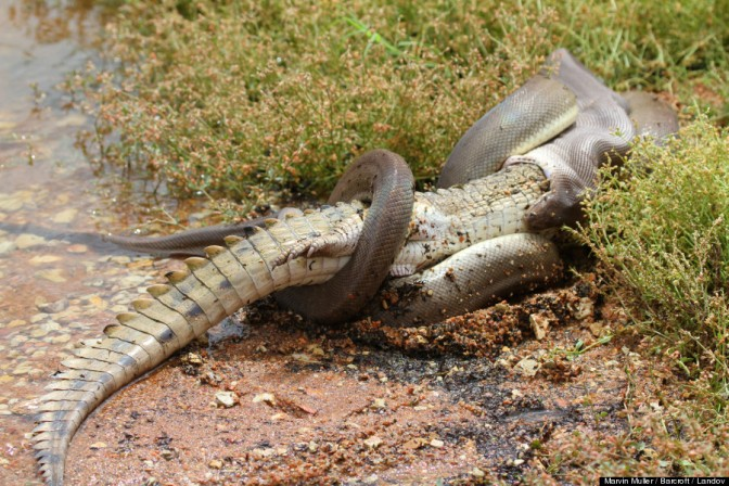 Snake Eats Crocodile By Swallowing It Whole (PHOTOS)
